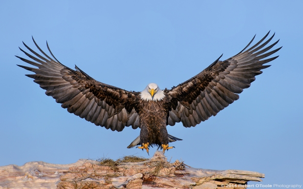 Eagle-landing-sandbar-S-Alaska-Robert-OToole-Photo